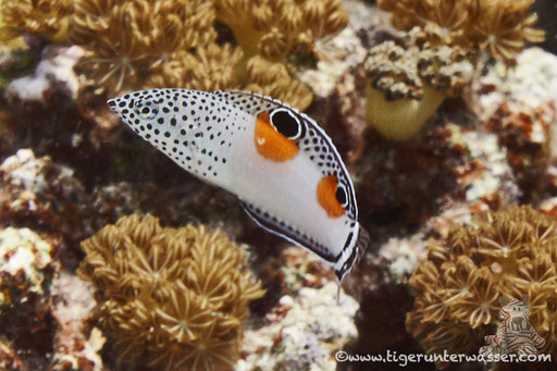 Spiegelfleck Junker Juv./ clown coris juv. / Coris aygula Juv. / Erg Talata - Hurghada - Red Sea / Aquarius Diving Club