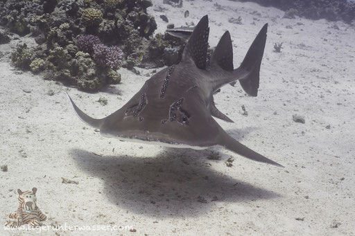 Bogenmaul-Gitarrenrochen - Bowmouth Guitarfish - Rhina ancylostoma / Abu Hashish Süd - Makadi Bay - Aquarius Diving Club