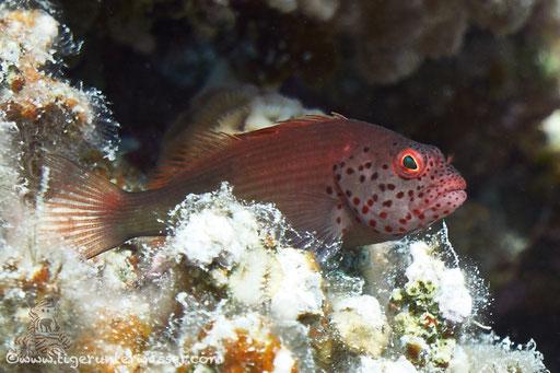 Gestreifter Korallenwächter / black-sided hawkfish / Paracirrhites forsteri / Godda Abu Ramada East/West - Hurghda - Red Sea / Aquarius Diving Club