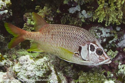 Großdorn Husar / sabre squzrrelfish / Sargocentron spiniferum / Habili Gafar - St.Johnes - Red Sea / Vita xplorer