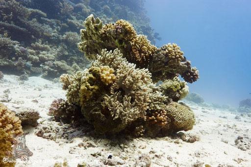 Shaab Iris / Hurghada - Red Sea / Aquarius Diving Club