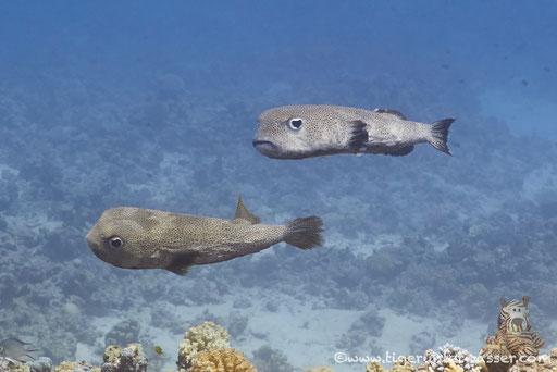 Gepunkteter Igelfisch / Spotted Porcupinefish / Diodon hystrix / Shaab Sabina - Hurghada - Red Sea / Aquarius Diving Club