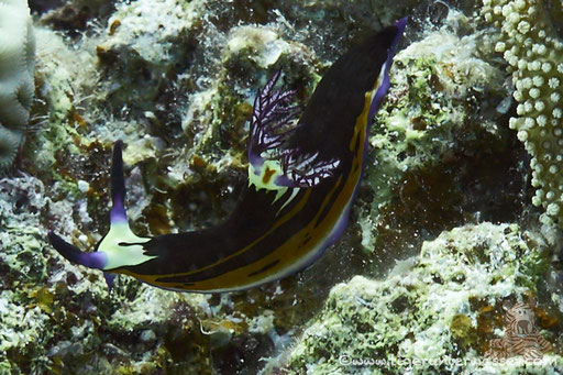 Rotmeer Sternschnecke / Nembrotha megalocera / - Hurghada - Red Sea / Aquarius Diving Club