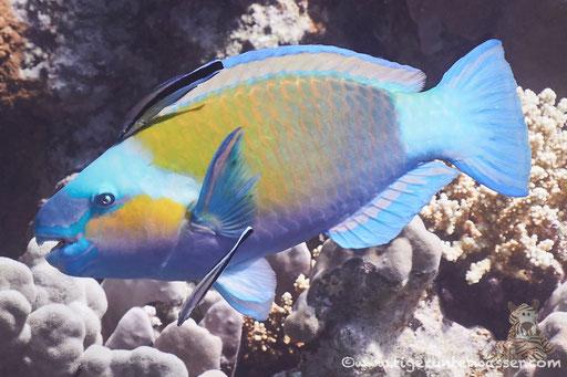 Kugelkopf Papagaifisch ♂/ Bullethead Parrotfish♂ / Clorurus sordidus ♂/ Godda Abu Ramada East - Hurghada - Red Sea / Aquarius Diving Club