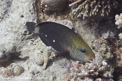 Kugelkopf Papagaifisch ♀/ Bullethead Parrotfish ♀/ Clorurus sordidus ♀/ Godda Abu Galawa - Hurghada - Red Sea / Aquarius Diving Club