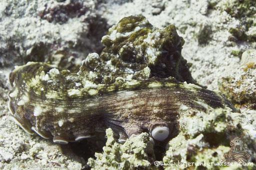 Roter Krake / big blue octopus / Octopus cyaneus / Sakhwat Abu Galawa - Hurghada - Red Sea / Aquarius Diving Club
