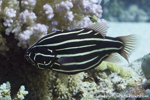 Sechsstreifen Seifenbarsch - Six-Lined Soapfish - Grammistes sexlineatus / Godda Abu Ramada East - Hurghada - Red Sea - Aquarius Diving Club