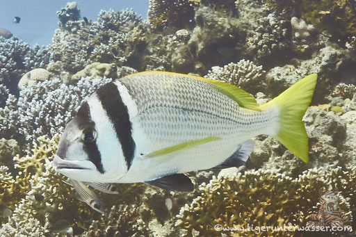Doppelband Meerbrasse / twobar seabream / Acanthopagrus bifasciatus / Erg Talata - Hurghada - Red Sea / Aquarius Diving Club