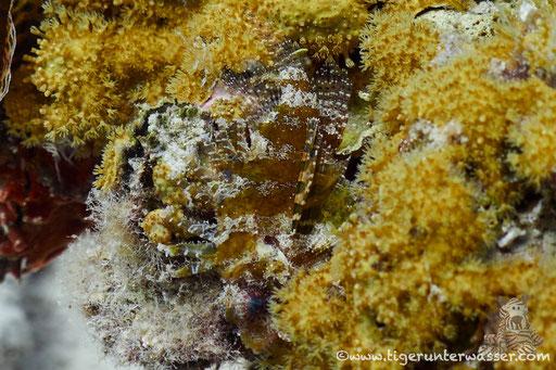 Kurzflossen Zwergfeuerfisch / Shortfin Turkeyfish or Dwarf lionfish / Dendrochirus brachypterus / Erg Petra - Hurghada - Red Sea / Aquarius Diving Club