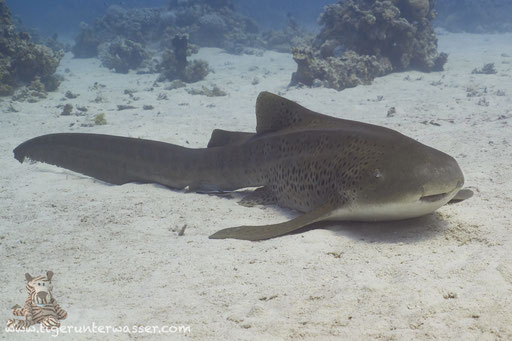 Zebrahai / Zebra Shark / Stegostoma fasciatum / Godda Abu Ramada West - Hurghada - Red Sea / Aquarius Diving Club
