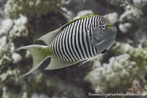 Rotmeer Lyrakaiser (f) / Zebra angelfish f. / Genicanthus caudovittatus / Godda Abu Ramada East/West - Hurghda - Red Sea / Aquarius Diving Club