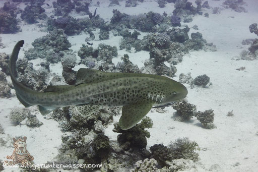 Zebrahai / Zebra Shark / Stegostoma fasciatum / Umm Kamar - Hurghada - Red Sea / Aquarius Diving Club