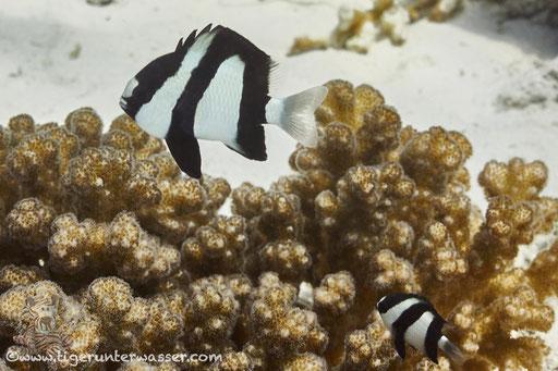 Dreibinden Preussenfisch / Whitetail dascyllus / Dascyllus aruanus / - Hurghada - Red Sea / Aquarius Diving Club
