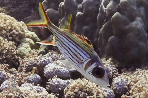 Blutfleckhusar / Spotfin squirrelfish / Neoniphon sammara / Hurghada - Red Sea / Aquarius Diving Club
