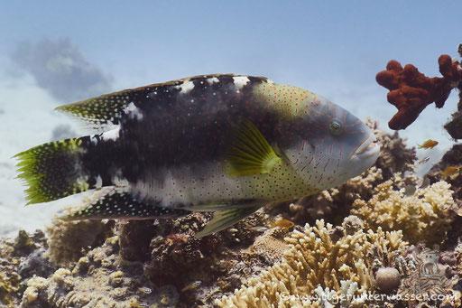 Abudjubbes Lippfisch - Abudjubbe wrasse - Cheilinus abudjubbe /  Fanadir Nord - Hurghada - Red Sea / Aquarius Diving Club