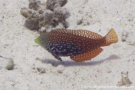 Diamant-Lippfisch / Maleleopard Wrasse / Macropharyngodon bipartitus / Ben El Gebal - Hurghada - Red Sea / Aquarius Diving Club