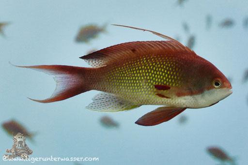 Juwelen Fahnenbarsch♂ / sea goldie - lyretail coralfish - lyretail anthias - scalefin anthia /Pseudanthias squamipinnis / Hurghada - Red Sea  / Aquarius Diving Club