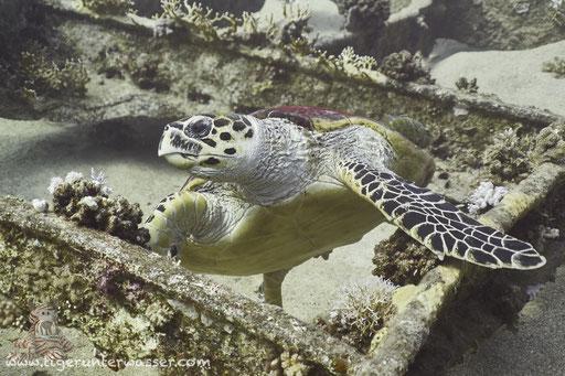 Echte Karettschildkröte / hawksbill sea turtle / Eretmochelys imbricata / Chrisoula K. - Abu Nuhas - Red Sea / Aquarius Diving Club