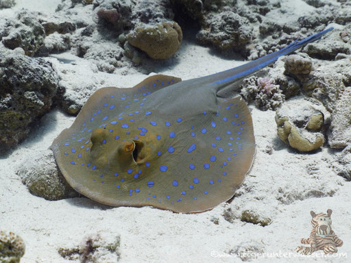 Blaupunkt Stechrochen / bluespotted ribbontail ray / Taeniura lymma / Abu Ramada Süd - Hurghada - Red Sea / Aquarius Diving Club