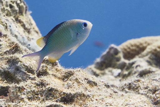 Blaugrüner Chromis - Green Chromis - Chromis viridis / Erg Estha - Hurghada - Red Sea / Aquarius Diving Club