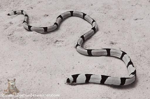 Gestreifter Schlangenaal - snake eel -Myrichthys colubrinus / Sakhwat Abu Galawa - Hurghada - Red Sea / Aquarius Diving Club
