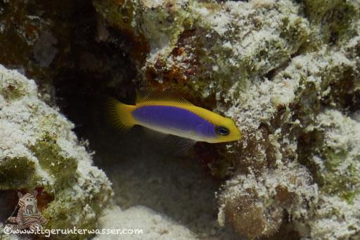 Gelb-Blauer Zwergbarsch -Pseudochromis Flavivertex / Fanus East - Hurghada - Red Sea - Aquarius Diving Club