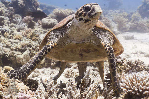 Echte Karettschildkröte / hawksbill sea turtle / Eretmochelys imbricata / Shaab El Erg - Hurghada - Red Sea / Aquarius Diving Club