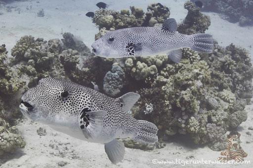 Riesen Kugelfisch / starry puffer / Arothron stellatus / Godda Abu Ramada East/West - Hurghada - Red Sea / Aquarius Diving Club