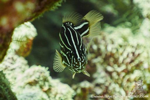 Sechsstreifen Seifenbarsch - Six-Lined Soapfish - Grammistes sexlineatus / Small Giftun - Hurghada - Red Sea - Aquarius Diving Club