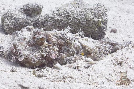 Red Sea Walkman / Devil scorpionfish / Inimicus filamentosus / - Hurghada - Red Sea / Aquarius Diving Club
