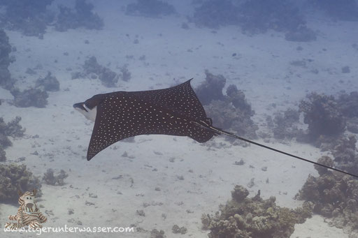 Gefleckter Adlerrochen / spotted eagle ray / Aetobatus narinari / Ben El Gebal - Hurghada - Red Sea / Aquarius Diving Club