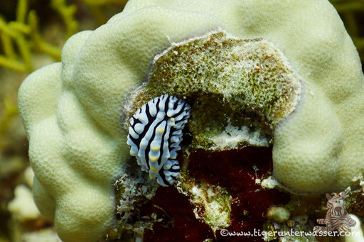 Variable Warzenschnecke / varicose wart slug / Phyllidia varicosa / Godda Abu Ramada East - Hurghada - Red Sea / Aquarius Diving Club