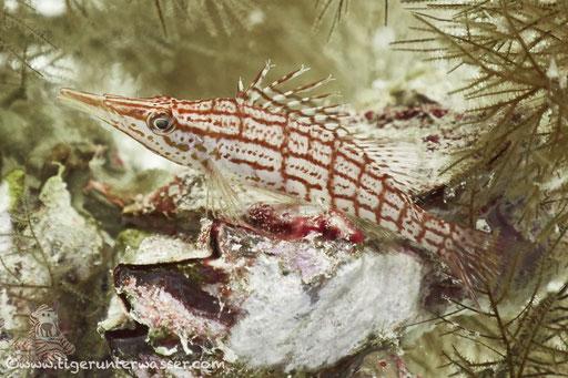 Langnasen Korallenwächter / Longnose hawkfish / Oxycirrhites typus / Abu Ramada Cave - Hurghada - Red Sea / Aquarius Diving Club