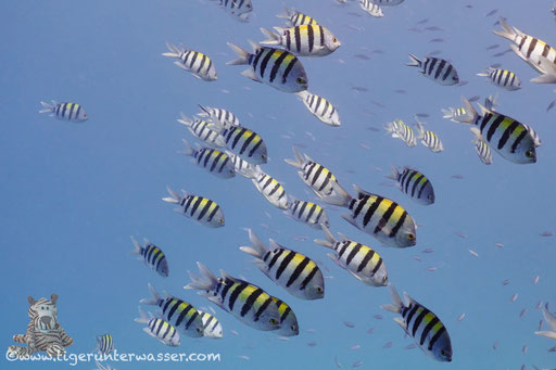 Indopazifik Sergant / Indo-Pacific Sergeant / Abudefduf vaigiensis / Marsa Abu Galawa - Hurghada - Red Sea / Aquarius Diving Club