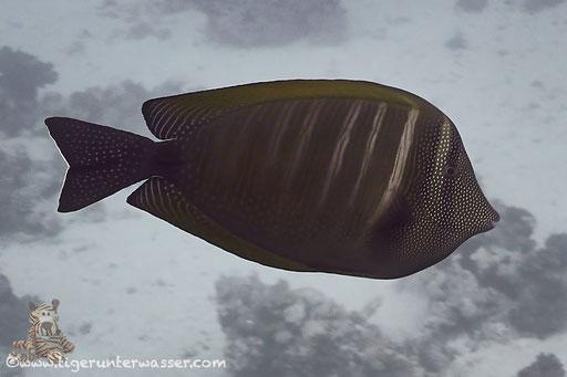 Indischer Segelflosser / Sailfin tang / Zebrasoma desjardinii / Small Giftun - Hurghada - Red Sea / Aquarius Diving Club