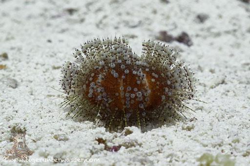 Rotmeer-Feuerseeigel - Red Sea fire urchin - Asthenosoma marisrubri / Fanadir Nord - Hurghada - Red Sea / Aquarius Diving Club