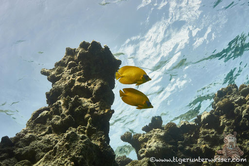 Masken Falterfisch / blue-cheeked butterflyfish / Chaetodon semilarvatus / Abu Ramada Süd - Hurghada - Red Sea / Aquarius Diving Club