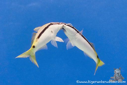 Rotmeer Barbe / Red Sea goatfish / Parupeneus forsskali / Abu Ramada Süd - Hurghada - Red Sea / Aquarius Diving Club