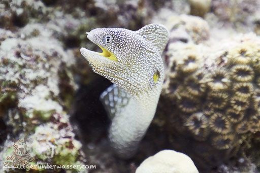 Gelbmaulmuräne / Yellow-mouthed moray eel / Gymnothorax nudivomer / Fanadir Nord - Hurghada - Red Sea / Aquarius Diving Club