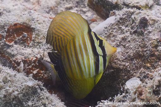Indischer Segelflosser juv. / Sailfin tang juv. / Zebrasoma desjardinii juv. / Marriott Beach - Hurghada - Red Sea / Aquarius Diving Club