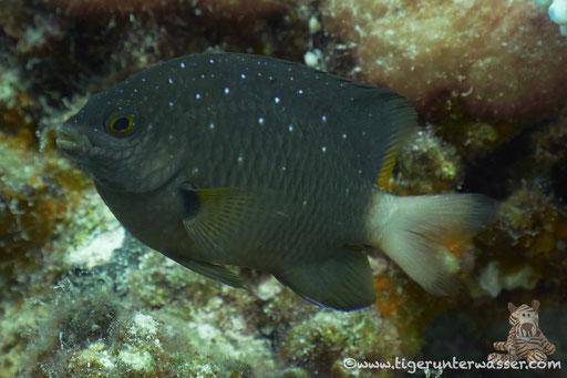 Gelbschwanz-Riffbarsch / Yellowtail damselfish / Microspathodon chrysurus / Godda Abu Ramada East - Hurghada - Red Sea / Aquarius Diving Club