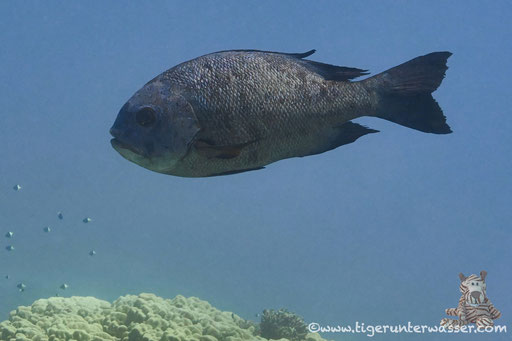 Schwarzer Schnapper / black and white snapper / Macolor niger / Shaab Sabina - Hurghada - Red Sea / Aquarius Diving Club