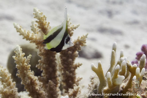 Rotmeer Wimpelfisch / Red Sea bannerfish / Heniochus intermedius / Godda Abu Galawa - Hurghada - Red Sea / Aquarius Diving Club