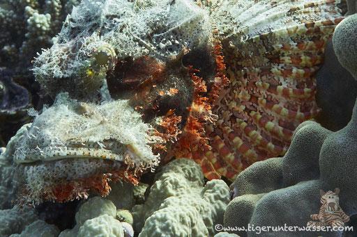 Fransiger Drachenkopf / tassled scorpionfish / Scorpaeopsis oxycephala / Godda Abu Ramada - Hurghada - Red Sea / Aquarius Diving Club