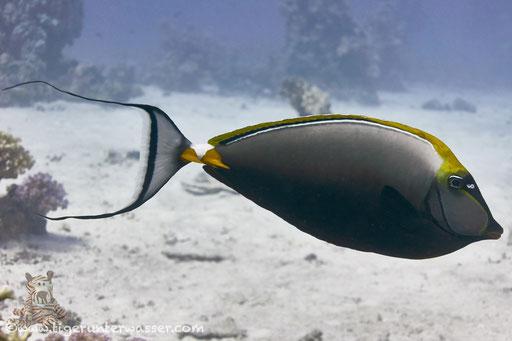 Indischer Gelbklingen Nasendocktor / Elegant unicornfish or Orange-spine unicorn /  Naso elegans / Godda Abu Ramada East/West - Hurghda - Red Sea / Aquarius Diving Club