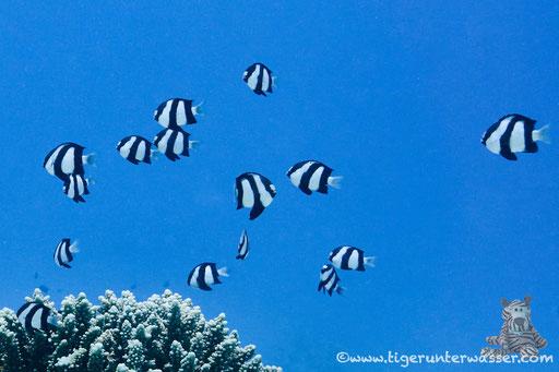 Dreibinden Preussenfisch / Whitetail dascyllus / Dascyllus aruanus / Godda Abu Ramada East/West - Hurghada - Red Sea / Aquarius Diving Club