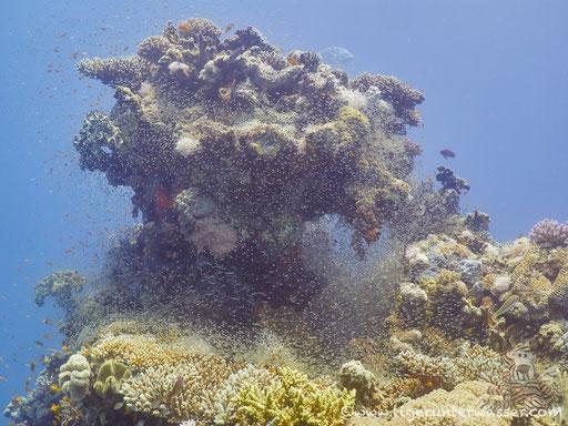 Fanus East / Hurghada - Red Sea / Aquarius Diving Club