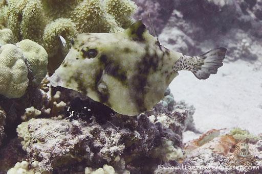 Pyramiden Kofferfisch / humpback turretfish / Tetrasomus gibbosus / Godda Abu Galawa - Hurghada - Red Sea / Aquarius Diving Club