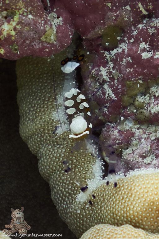Anemonen Partnergarnele / Peacock-Tail Anemone Shrimp / Periclimenes brevicarpalis / Godda Abu Ramada West - Hurghada - Red Sea / Aquarius Diving Club