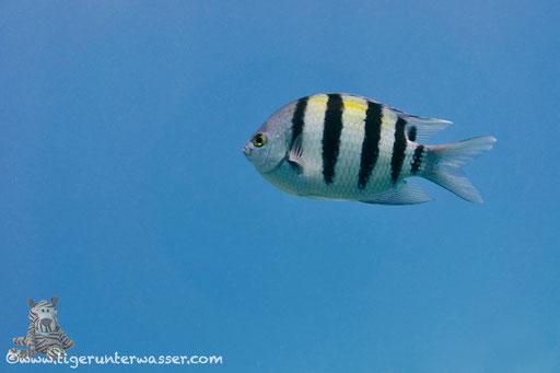 Indopazifik Sergant / Indo-Pacific Sergeant / Abudefduf vaigiensis / Hurghada - Red Sea / Aquarius Diving Club